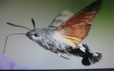 Hummingbird Hawk-moth spotted