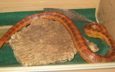 A Corn Snake joins CARE Club